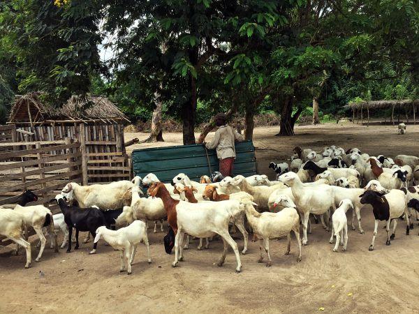 Die eingeführte Schafzucht schafft nicht nur Arbeitsplätze, sondern versorgt das Dorf mit Milch und Käse.