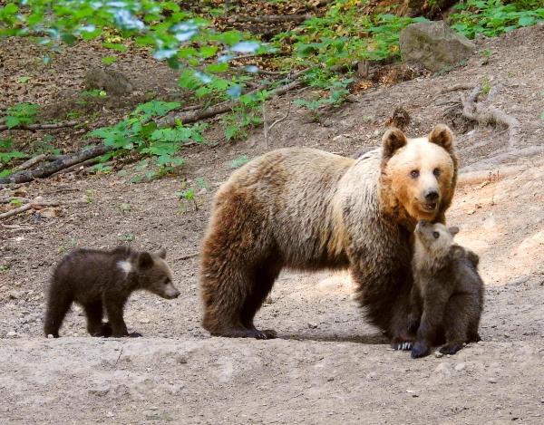 Bedrohte Braunbären: Artenschutz in Rumänien