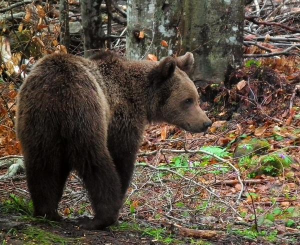 Artenschutz: Braunbär in Rumänien