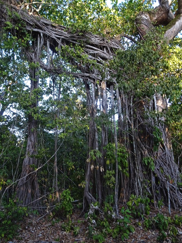 Die Luftwurzeln eines Banyanbaums. Der illegale Holzeinschlag macht leider auch innerhalb des eingezäunten Nationalparks nicht halt.