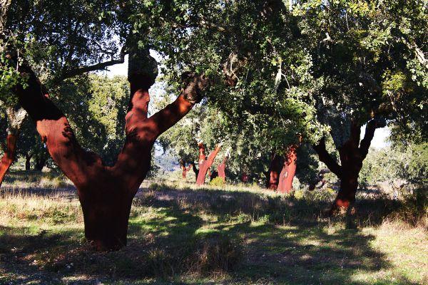 Kork-Eichen nach der Ernte