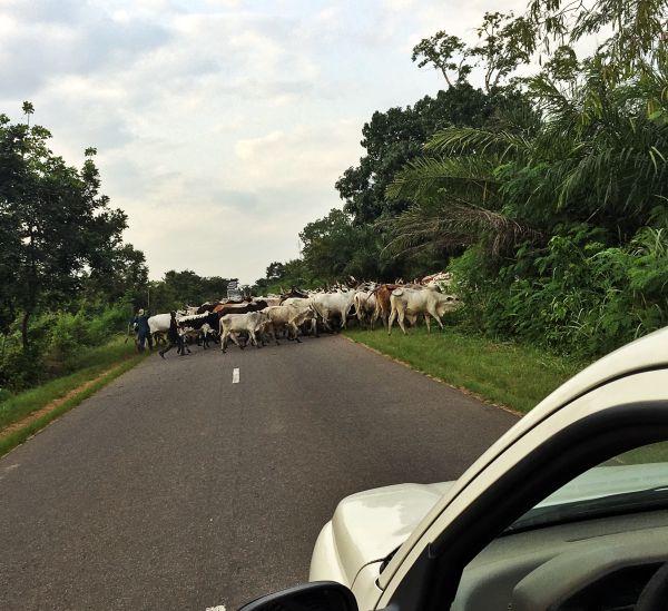 Straße in Togo mit Kühen