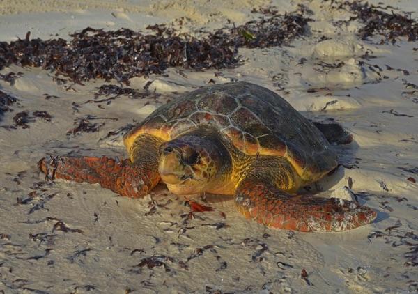 Meeresschildkröten-Freilassung in Kenia durch die Aktionsgemeinschaft Artenschutz