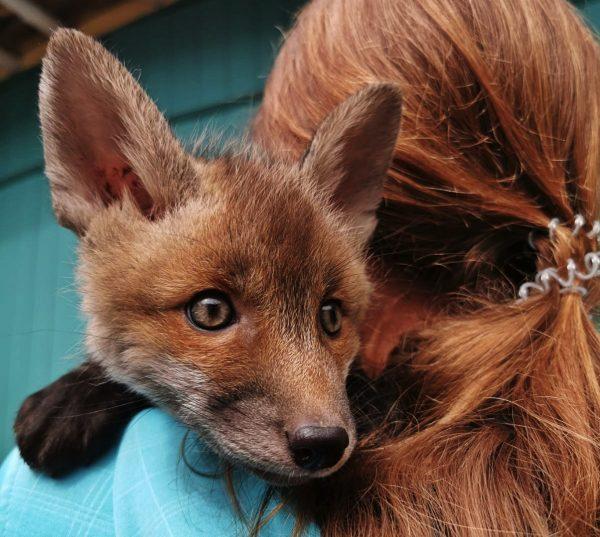 Wildtierschutz: Fuchs auf dem Arm einer Ehrenamtlichen