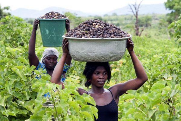 Die Pflanze Jatropha eignet sich besonders zum Sammeln und sichert so ein Zusatzeinkommen beim Klimaschutz-Projekt in Togo.