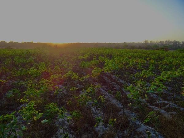 Die ersten Maniok-Pflanzen (Cassava) des Projekts. Die jungen Wurzeln, berichtet Sammy, können auch als Heilmittel gegen Geschwüre genutzt werden.