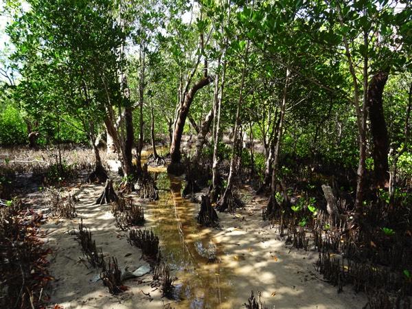 """Die Böden der Mangroven sind grundsätzlich derart sauerstoffarm, dass die Mangrovenwurzeln wie Strohhalme aus dem Boden wachsen, um atmen zu können. """"Survival of the Fittest"""" hatte es Darwin einst bezeichnet - nur die best angepassten Individuen überleben."""