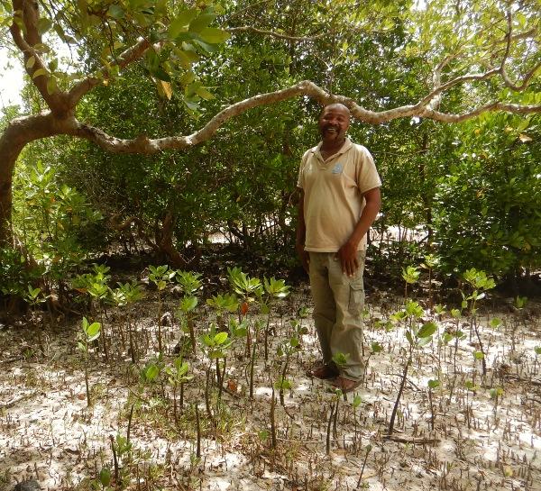 Pflanzung von Mangroven in Kenia
