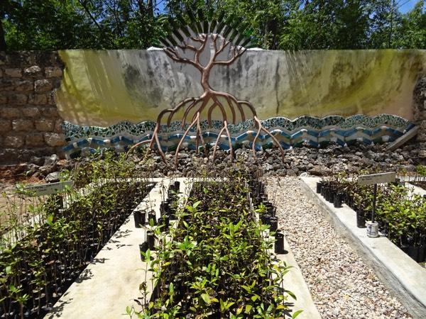 Die Mangroven-Setzlinge gedeihen prächtig im Nutzgarten des Local Ocean Conservation-Projektes.