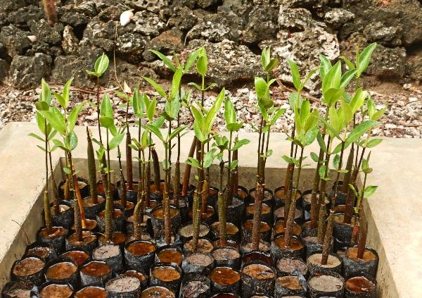 Mangrovensetzlinge