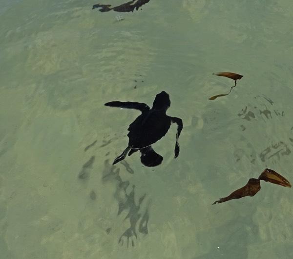 Geschafft! Doch damit sind die Gefahren längst nicht gebannt. Im Meer lauern Raubfische sowie die Boote und der Müll der Menschen gefährden den Bestand.