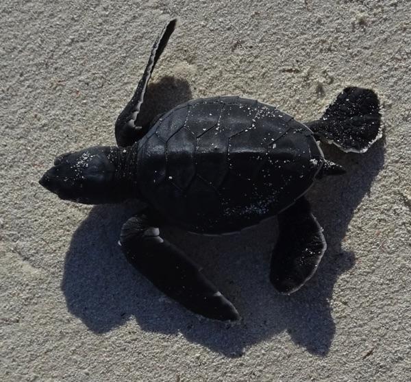 Bereits am Strand lauern die ersten tierischen Gefahren. Unter der Oberfläche (Krebse), auf dem Sand (Hunde) und aus der Luft (Möven). Die ungeschützten Jungschildkröten sind eine willkommene, da leicht zu fange Speise in der Tierwelt.