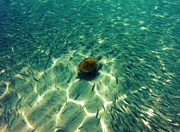 Meeresschildkröten im Fischschwarm