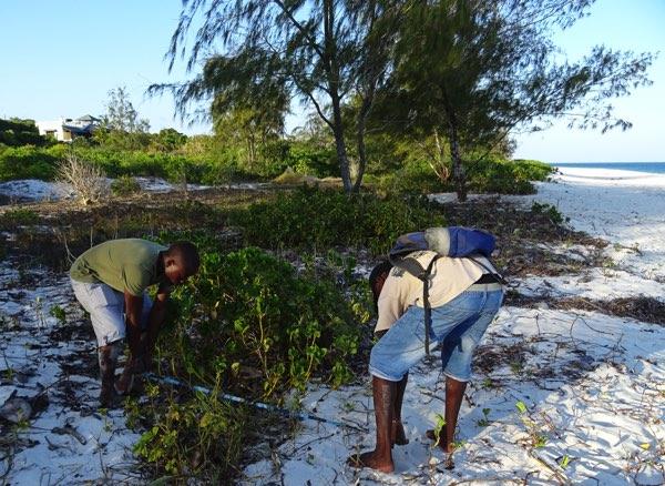Weiter gehts zum nächsten Gelege. Das Team lokalisiert ein zuvor markiertes Nest. Die Markierung ist chiffriert. Sie muss von den Artenschützer*innen wiedergefunden, jedoch von den Wilderern unentdeckt bleiben. Ein Balanceakt. Meeresschildkröteneier gelten als Delikatesse und bringen auf dem Schwarzmarkt schnell verdientes Geld.