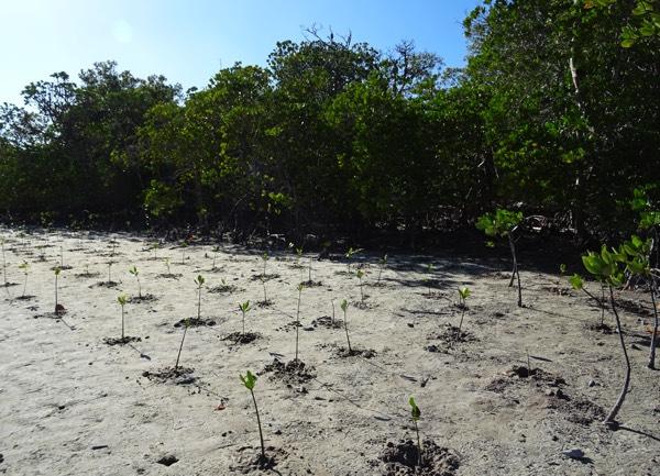 Nach einigen Stunden schweißtreibender Arbeit unter der unnachgiebigen Sonne ist es vollbracht. Die in Kenia heimischen Mangroven-Arten Ceriops (434 Setzlinge), Bruguiera (143) und Avicennia marina (470) konnten erfolgreich gepflanzt werden.