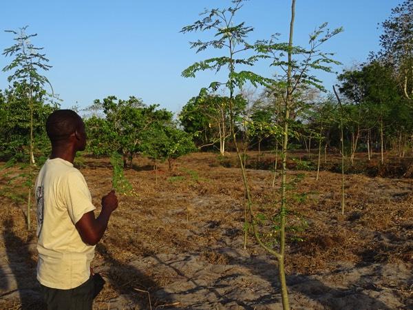 Sammy erläutert uns auch die Vorzüge des Moringa-Baumes. Aus dessen Wurzeln wird das Moringa-Pulver hergestellt. In unseren Breiten ist es einigen bereits als Superfood bekannt. Es ist eine wahre Vitaminbombe und enthält die Vitamine B1, B2, B3, C, A und E sowie pflanzliche Proteine, Antioxidantien und Eisen.