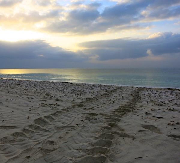 Gleichmäßige Spuren einer riesigen Meeresschildkröte in der Dämmerung.