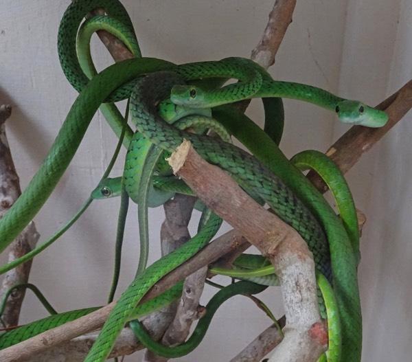 """Ein häufiger Gast in den Mangroven Kenias: Die """"Green spotted bush snake"""" - sie kann zwar beißen, ist jedoch ungiftig und hat es eher auf andere Kreaturen abgesehen. Ihr Pech - sie wird von Kenianern häufig mit der tödlichen Baumschlange verwechselt und daher getötet."""
