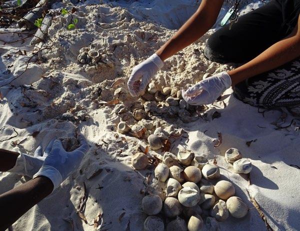 Ein Gelege hat rund 130 Eier. Nur aus einem Ei von tausend Eiern (!) wird eine erwachsene Meeresschildkröte. Es bedarf also gut 15 Durchschnittsnester, um ein fortpflanzungsfähiges Schildkrötenpärchen hervorzubringen. Die Zahlen verdeutlichen, wie wichtig der Schutz jedes einzelnen Tieres ist.