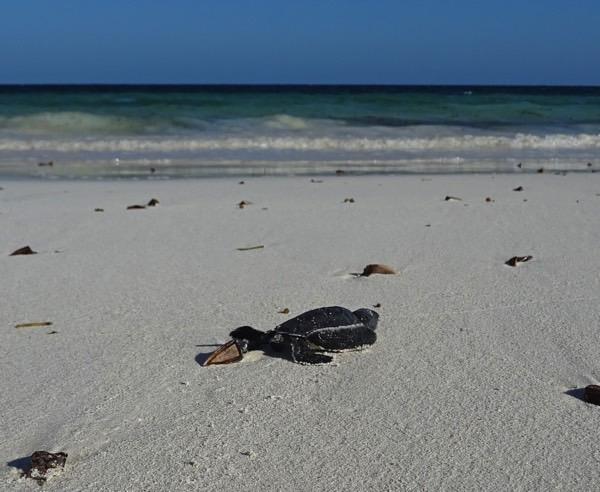 Nur 80 % des Geleges schaffen es unbeschadet ins offene Meer.